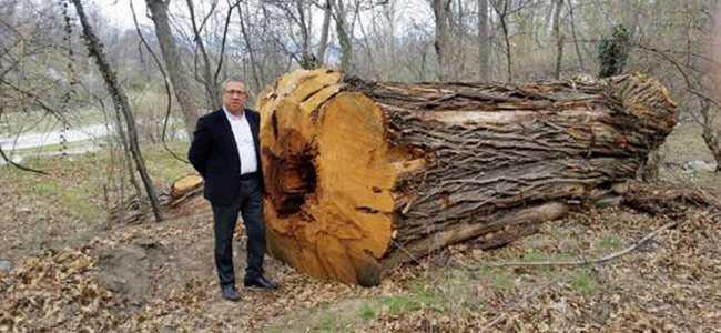 Dev kestane ağaçları katledildi