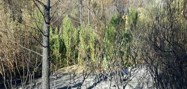 Yanan ormanda uyuşturucu bulundu