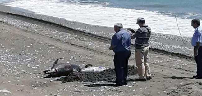 Finike'de sahile yunus ölüsü vurdu