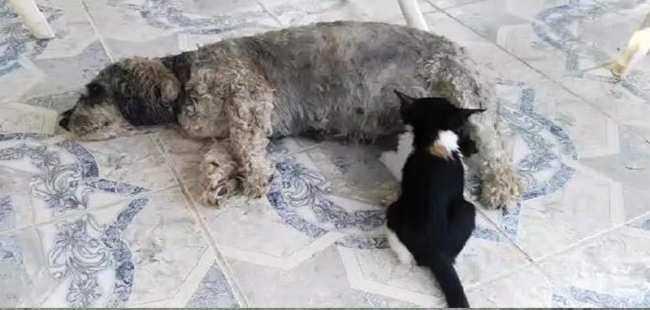 Köpek, yavru kediyi emziriyor
