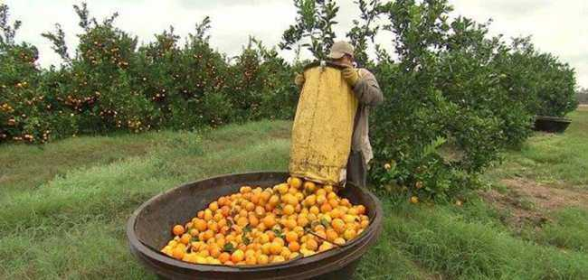 Hortumzedelere  2 bin portakal fidanı