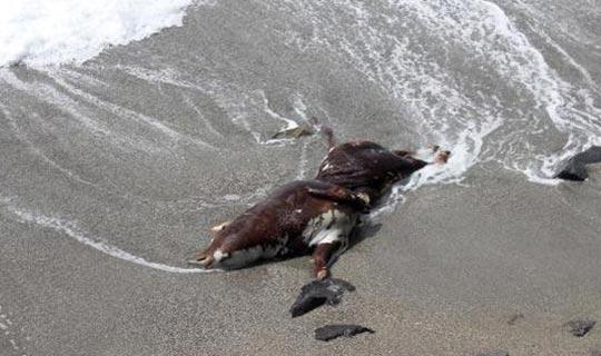 Antalya'da kıyıya vurdu