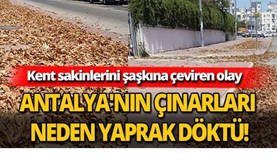 Antalya'nın çınarları neden yaprak döktü!