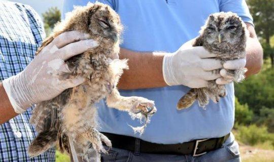 Tedavisi tamamlanan 2 yavru baykuş doğaya salındı