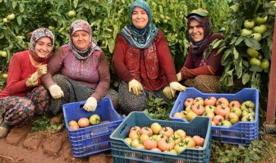 Kumluca'da yerli pembe domates üretildi