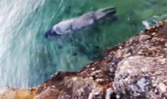 Gökova Körfezi'nde Akdeniz foku görüntülendi