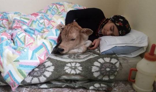 Hamdu Sena bu kez buzağı ile aynı yatakta uyudu