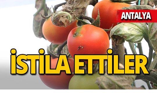 Antalya'da çiftçinin kabusu geri döndü!