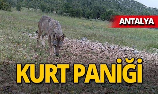 Antalya'da kurt paniği!