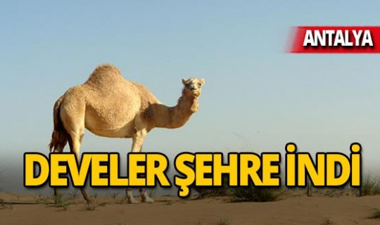 Faytonlar kalktı, develer şehre indi!