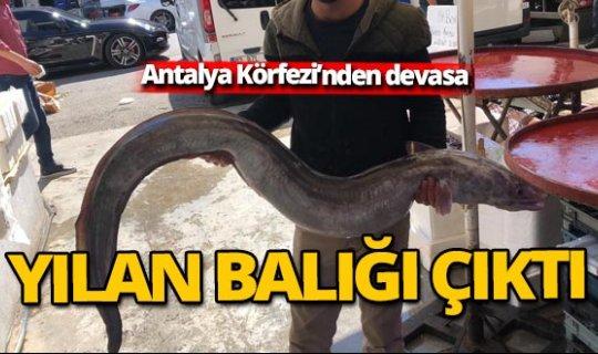 Antalya Körfezi'nden 3 metrelik yılan balığı çıktı