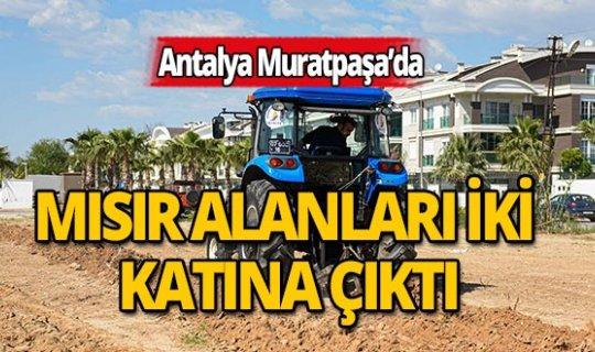 Muratpaşa'da mısır ekim alanı iki katına çıktı