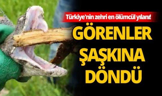 Türkiye'nin en zehirli ölümcül yılanı Hakkari'de görüldü