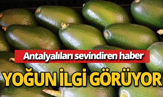 Antalya haber:  Alanya'da avokadolara talep artıyor