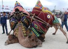 Antalya'da develer çocuklar için güreşti