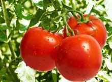 Kırmızı elmas olarak bilinen 'Domates' meyve midir yoksa sebze mi?