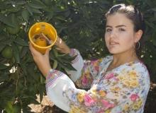 Finike'de meyve sineklerine ilaçsız müdahale