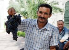 Finike'de üzüm hasadı başladı