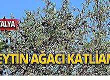 Yabancı uyruklu şahıs zeytin ağacını katletti