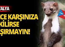 Yüzlerce SANSAR Antalya merkezinde bakın nerede yaşıyor