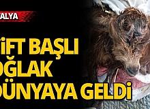 Antalya'da çift başlı oğlak dünyaya geldi