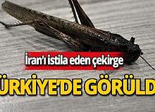 İran'ı istila eden çekirge Yüksekova'da görüldü