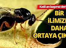 Koronavirüs, çekirge istilası, şimdi de katil arı!