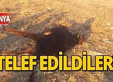 Alanya'da büyükbaş hayvanların telef edildiği iddiası
