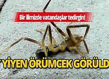 Et yiyen örümcek yüzünden vatandaşlar tedirgin! Zehri insanı öldürüyor