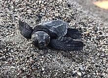 6 bin 214 caretta caretta yavrusu denizle buluşturuldu