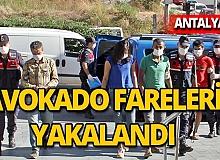 Antalya'da avokado fareleri yakalandı