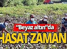 Antalya haber: Beyaz altın hasadı başladı