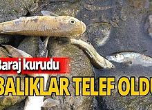 Baraj kurudu balıklar telef oldu