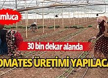 Örtü altı sebze üretiminin yüzde 65'i domates