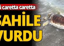 Antalya haber:Sahile ölü caretta caretta vurdu