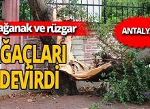 Antalya'da sağanak yağmur ağaçları devirdi
