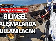Antalya haber: Karaya vuran Kaşalot balinası İstanbul'a gönderildi