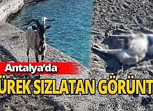 Antalya haber: Ölen dağ keçisinin arkadaşı başından ayrılmadı