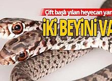 Florida'da en tehlikeli çift başlı engerek yılanı bulundu