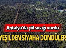 Antalya'da yeşil zeytinler siyaha döndü