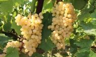 Yaş üzüm ihracatında artış
