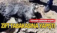Eriyen zift tabakasına yapışan yavru keçiyi vatandaşlar kurtardı