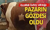 Antalya Alanya Haberi: Boğanın sırtındaki ay-yıldız deseni, görenleri şaşırtıyor