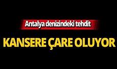 Antalya denizindeki tehdit kansere çare oluyor!