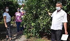 Antalya haber: Akdeniz meyve sineği çiftçilerin başına dert oldu