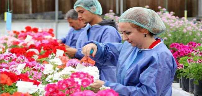 İlk yerli sardunya Antalya'da üretiliyor