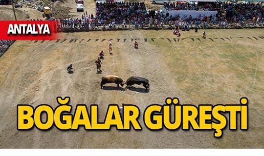 Antalya'da 41 boğa güreşti