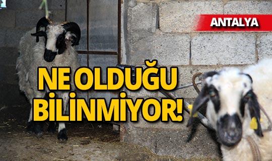 Antalya'da gizemli koyun katliamı bu kez ucuz atlatıldı