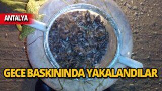 Antalya'da kurbağa avı operasyonu!