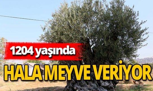Antalya haber: Bu ağaç 1204 yaşında
